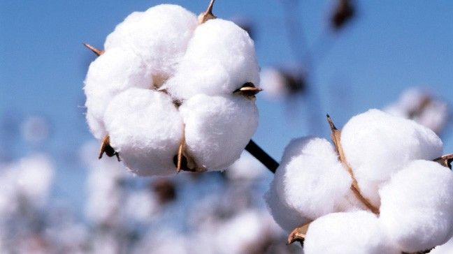 Quality of Our Cotton